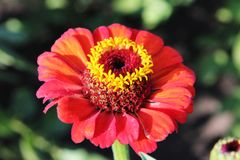 Zinnia elegans. Red beautiful flower in the rural garden stock image
