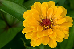 Zinnia Elegans Yellow flower Stock Photo
