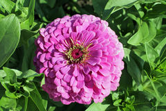Zinnia elegans. Youth-and-age, common zinnia, elegant zinnia in bloom stock photography