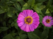 Zinnia elegant flower is beauty violet color. Zinnia elegant flower is violet on green leaf blur background royalty free stock image