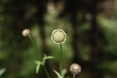Zinnia elegante del fiore senza petali su un bokeh verde fotografie stock libere da diritti