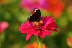 Zinnia and european Peacock butterfly (Inachis io) Royalty Free Stock Image
