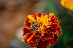 Zinnia fiore e ape del primo piano immagine stock