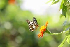 Zinnia fiore e farfalla Immagini Stock Libere da Diritti