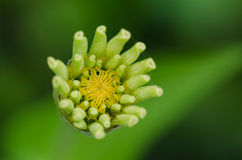 Zinnia floreciente Imagen de archivo libre de regalías