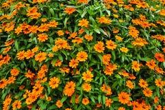 Zinnia, flores alaranjadas Imagem de Stock Royalty Free