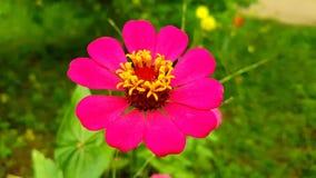 Zinnia, flores, flores del Zinnia Imagen de archivo libre de regalías