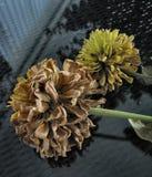 Zinnia Flower â 4-0904 Royalty-vrije Stock Afbeelding