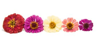 Free Zinnia Flower Stock Images - 101615684