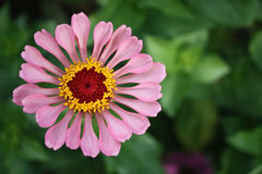 Zinnia flower Royalty Free Stock Image