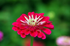Zinnia Flower. With space for text stock image
