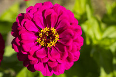 Zinnia flower Stock Photography