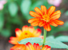 Zinnia flower Royalty Free Stock Image