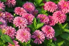 Zinnia Flower στοκ εικόνα με δικαίωμα ελεύθερης χρήσης