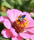 Zinnia flower3 Royalty-vrije Stock Afbeeldingen