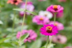 Zinnia flower. Royalty Free Stock Photography