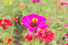 Zinnia Flower Στοκ φωτογραφία με δικαίωμα ελεύθερης χρήσης