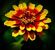 Zinnia flower Stock Images