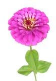 Zinnia flower Royalty Free Stock Photos