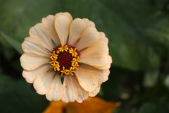 Zinnia Flower Beige Royalty Free Stock Images