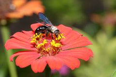 Zinnia flower with black wasp Royalty Free Stock Photos