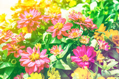Zinnia flower bloom colorful leaves Royalty Free Stock Photo