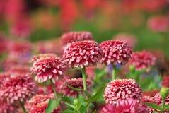 Zinnia flower blooming Stock Image