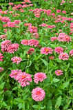 Zinnia flower blooming Royalty Free Stock Photo