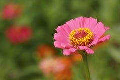 zinnia flower blooming in garden Stock Images
