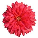zinnia flower blooming in garden Stock Image