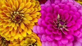 Zinnia Flower Closeup Blooming. Beautiful Symmetry of a Yellow and Pin Zinnia Flower Blooming stock footage