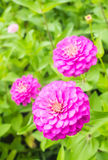 Zinnia flower. Closeup colorful pink zinnia flower Royalty Free Stock Images