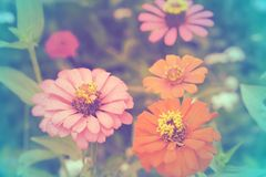 Zinnia flower with color background, soft focus of beautiful flowers with color filters Stock Photo