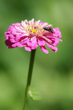 Zinnia flower and couple of flies Royalty Free Stock Photography