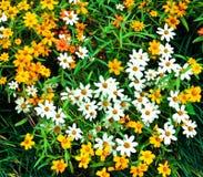 Zinnia flower field Stock Photography