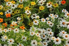 Zinnia flower in the garden. Zinnia flower field background in the garden Royalty Free Stock Image