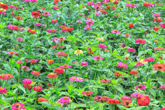 Zinnia. Flower in the garden Stock Photo