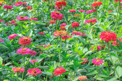 Zinnia. Flower in the garden Royalty Free Stock Photography