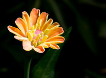 Zinnia flower in the garden Royalty Free Stock Images