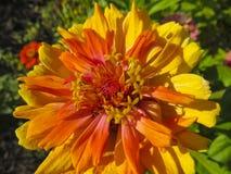 Zinnia flower in garden Stock Photos