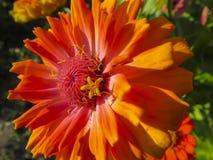 Zinnia flower in garden Stock Photography