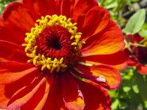 Zinnia flower in garden Stock Image