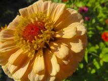 Zinnia flower in garden Stock Images