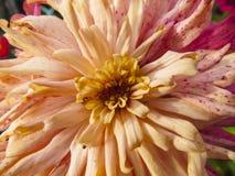 Zinnia flower in garden Stock Photo