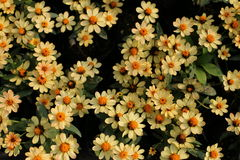 Zinnia flower in the garden Stock Images