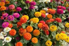 Zinnia flower in the garden Stock Photos