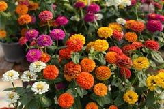 Zinnia flower in the garden Stock Photo