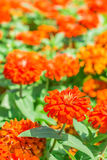 Zinnia flower in the garden. Royalty Free Stock Photo