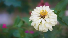 Zinnia flower in the garden royalty free stock photo