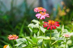 Zinnia flower in garden Royalty Free Stock Images